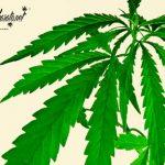 Marihuana índica, las 5 mejores variedades
