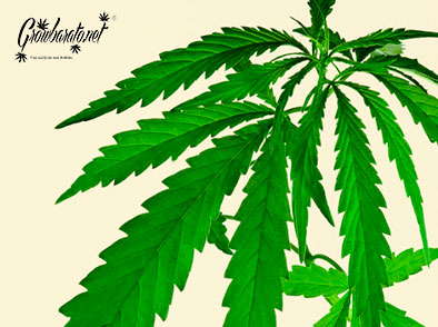 Indica Weed Strains | Everything you need to know!