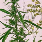 Diferencias entre marihuana macho y hembra