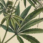 Marihuana sativa, las 5 mejores variedades