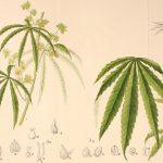 ¿Sabes cuál es la diferencia entre cáñamo y marihuana?