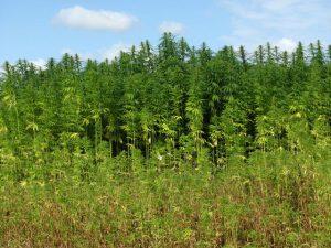 diferencia entre cañamo y marihuana morfologica