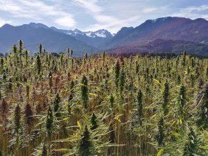 diferencia entre semillas de cañamo y marihuana