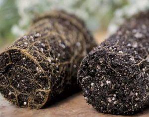 hongo fusarium