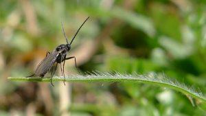 como eliminar la plaga de mosca negra