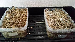 faire pousser des champignons magiques