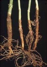 el hongo fusarium en plantas de marihuana