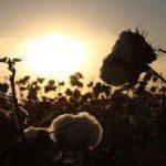 Ventajas del cáñamo: la alternativa sostenible al algodón