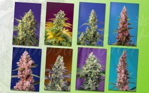 novedades sweet seeds® 2020