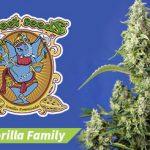 Familia Gorilla Girl® de Sweet Seeds®