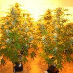 ¿Cuándo cortar la marihuana?