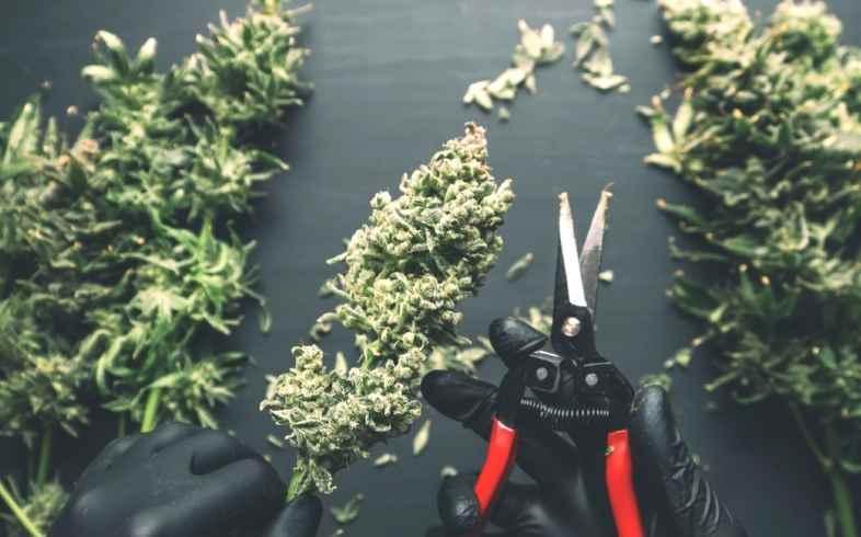 cuando cortar marihuana