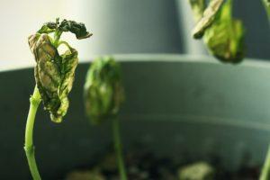 hongos en las plantas