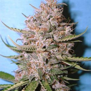 marihuana alta en cbd