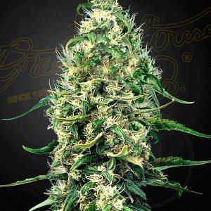 Super Silver Haze CBD de Green House Seeds