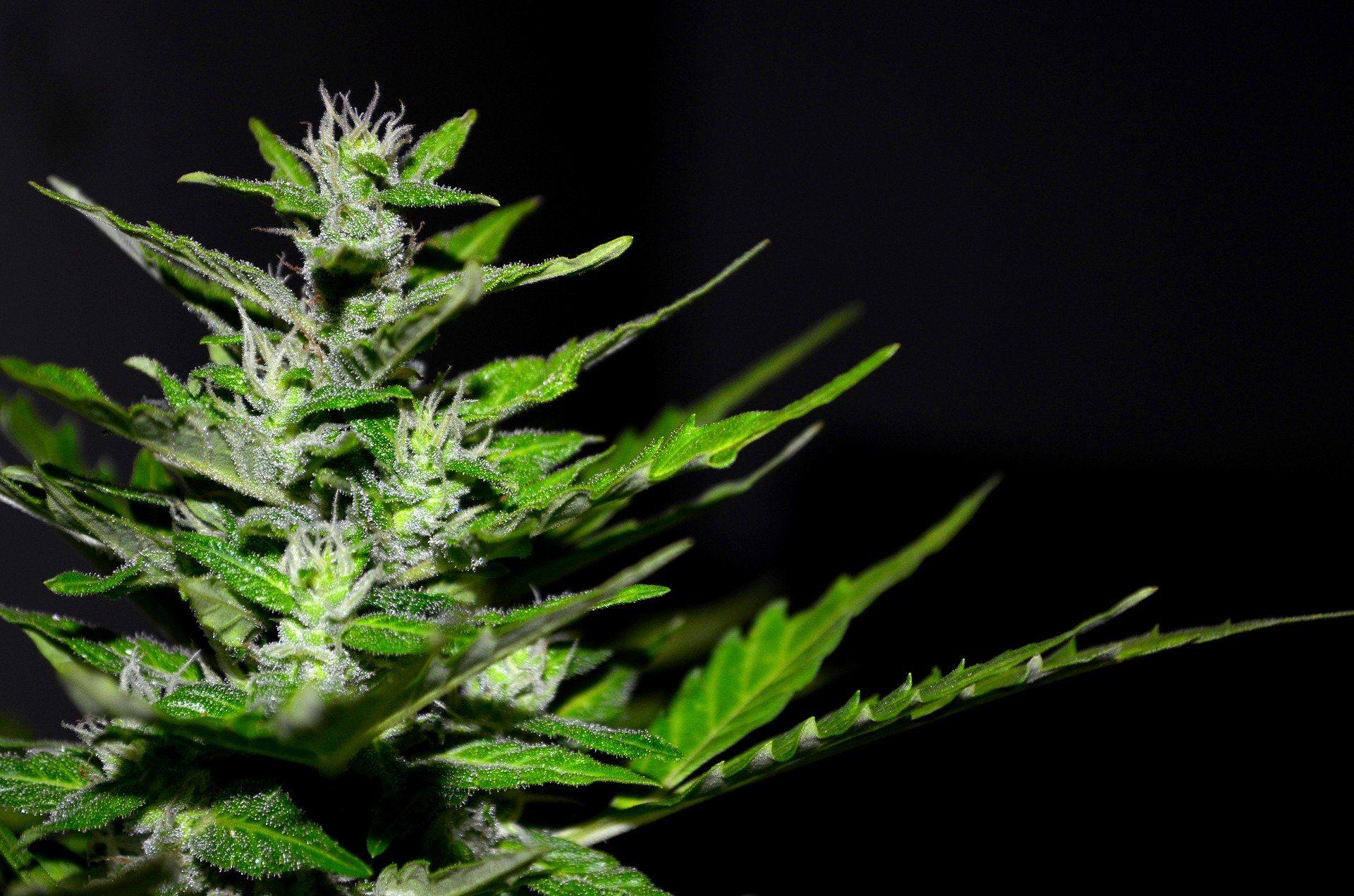 flavonoides en el cannabis