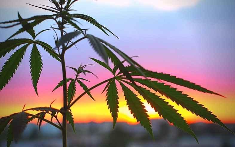 marihuana cultura
