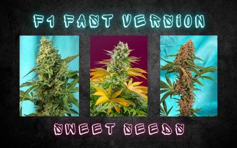 variedades fast version sweet seeds