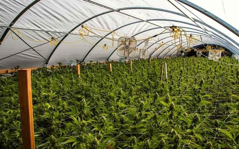 El agua de riego como factor clave en cultivos de marihuana