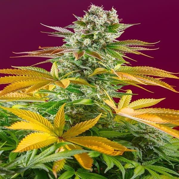 marihuana facil de cultivar