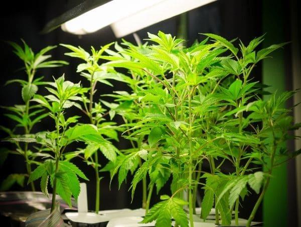 errores comunes al cultivar marihuana