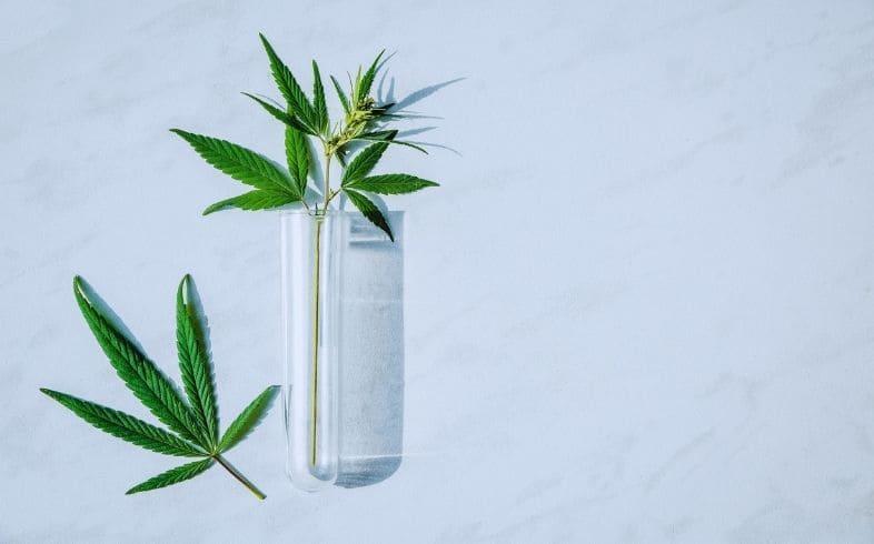 micropropagacion del cannabis