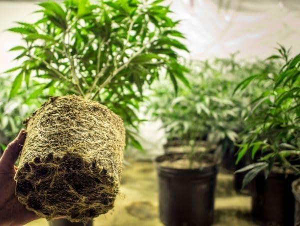 raices en planta de marihuana