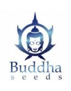 Graines auto-florissantes régulières Buddha