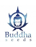 Buddha Seeds regular