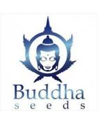 Buddha Seeds. Experts en auto-florissantes