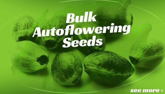 bulk autoflowering seeds